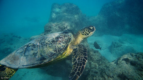 Sea turtle, Hanauma Bay, Oahu, Hawaii, USA.