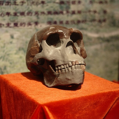 900px-Peking_Man_Skull_(replica)_present