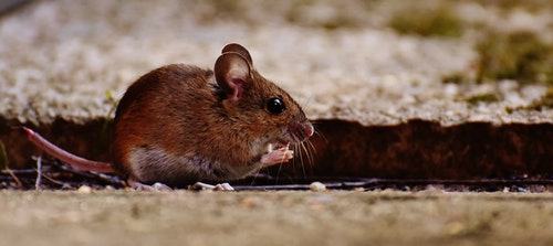mouse_rodent_cute_mammal_nager_nature_an