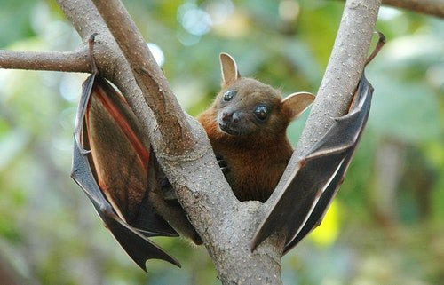 800px-Lesser_short-nosed_fruit_bat_(Cyno