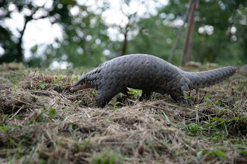 pangolin_in_the_ESRI's_First_Aid_Station